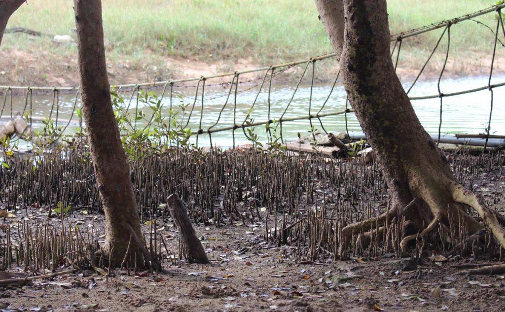 White mangrove aerial roots Beeachwood