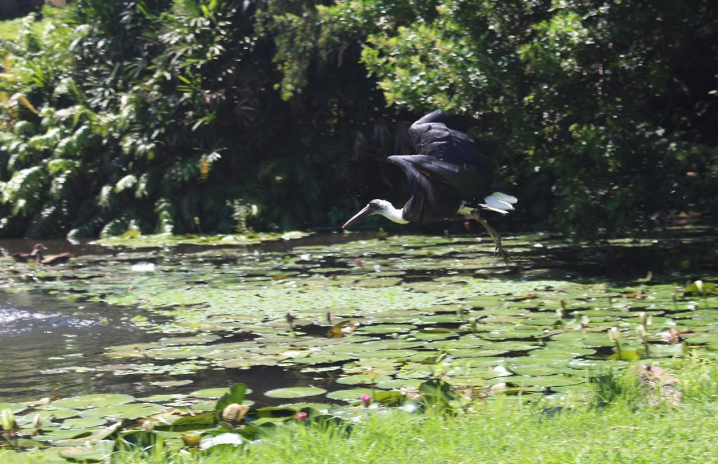 A stork in flight at the Durban North Japanses Gardens
