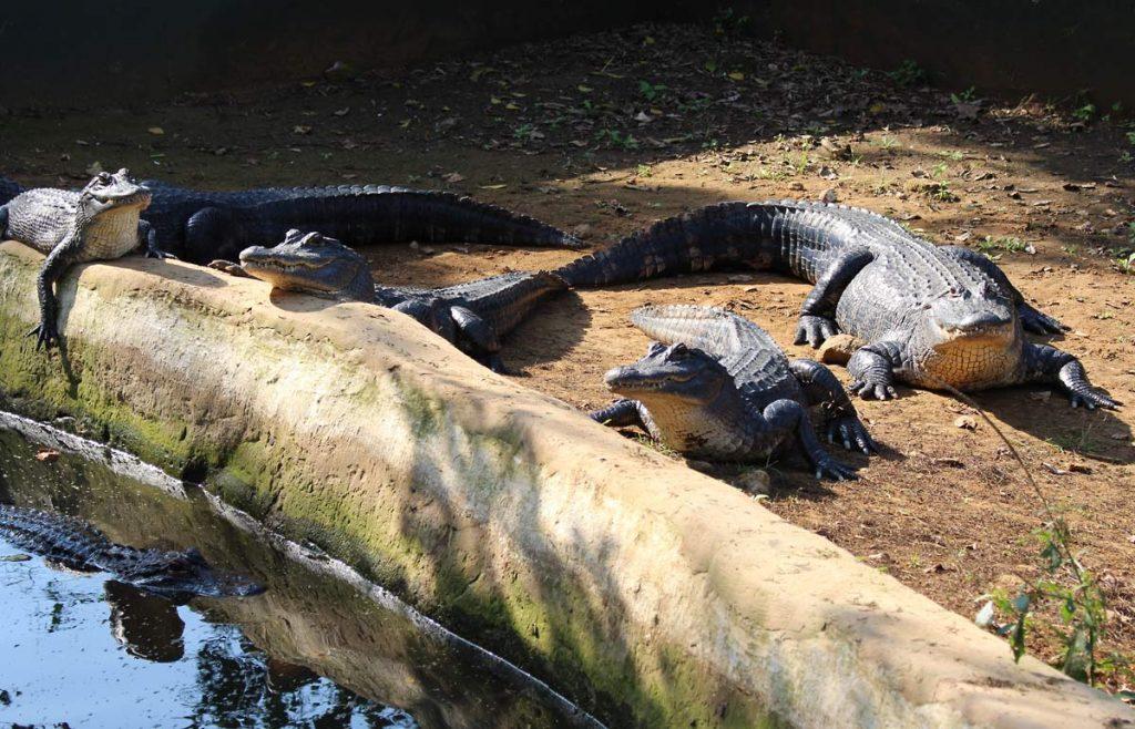Aligators at Croc Creek