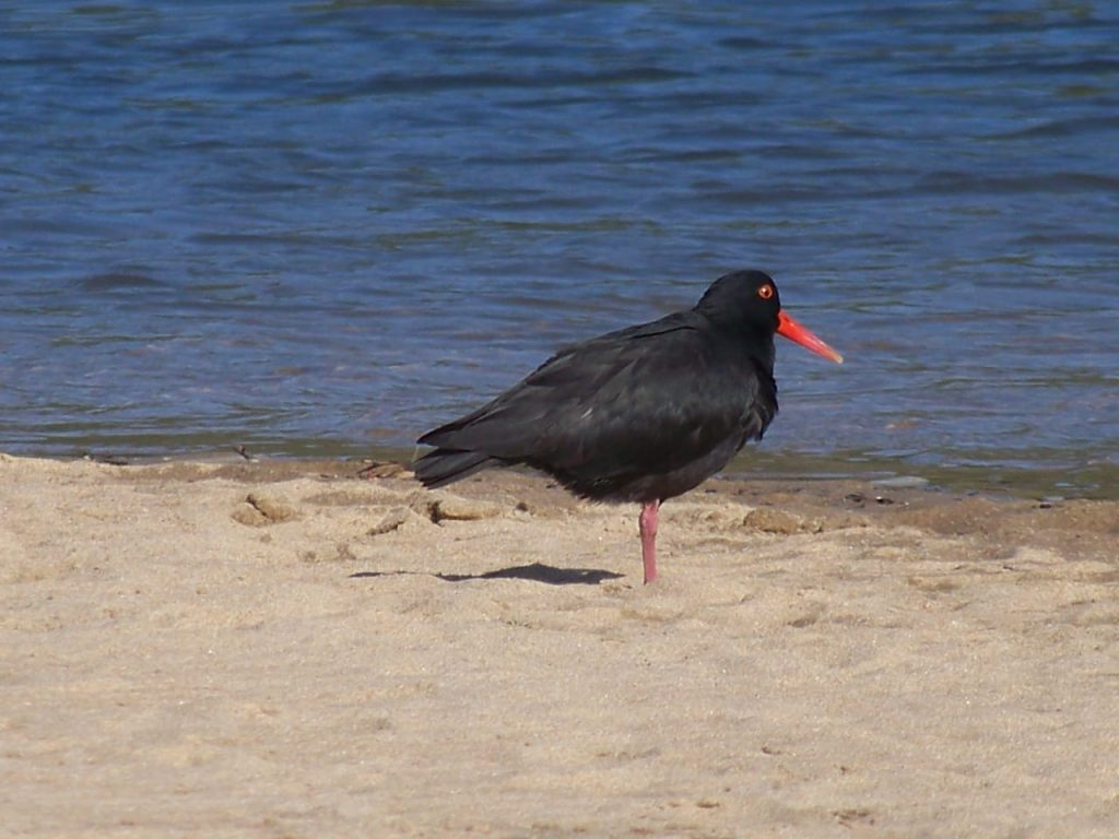 frican black oystercatcher at Umhlaga Lagoon Nature Reserve. Picture: Bongani Chisale