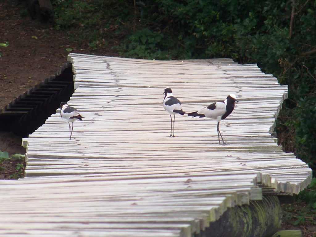 Blacksmith lapwings (Vanellus armatus) at Umhlanga Lagoon