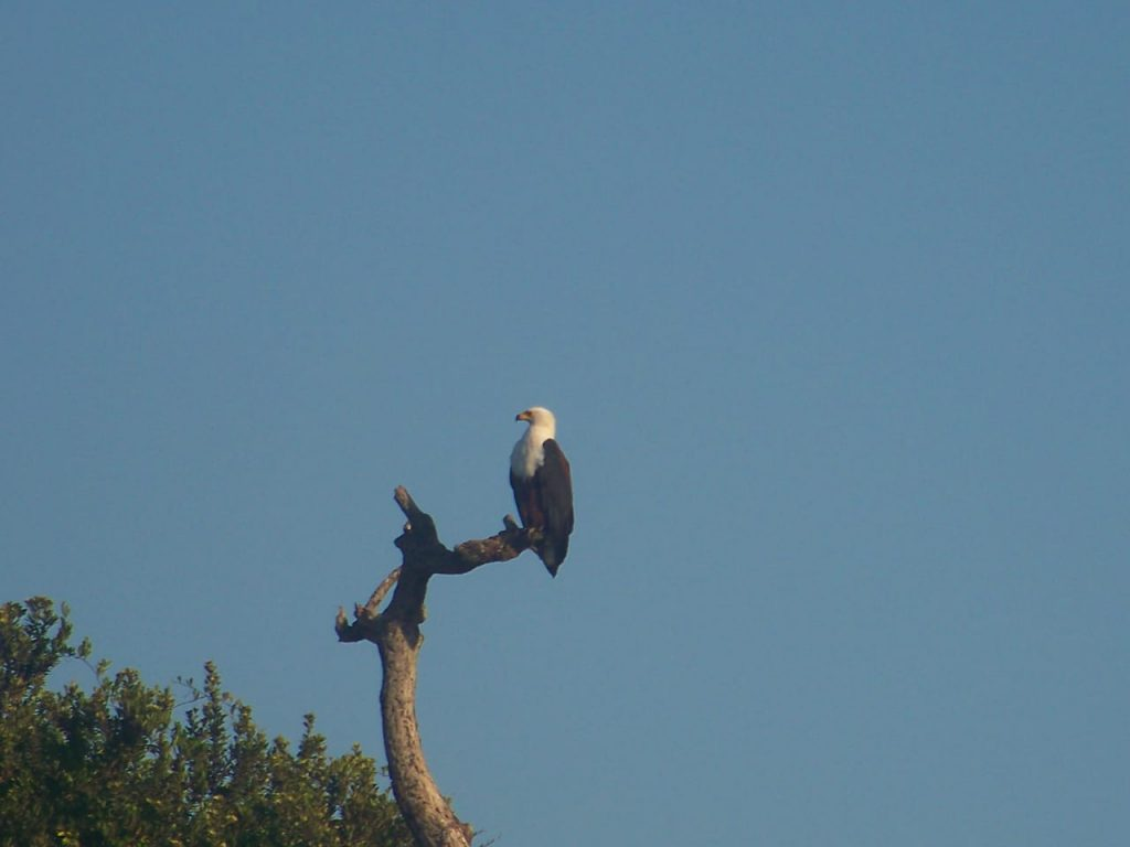 African fish eagle Umhlanga